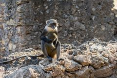 Affe, der sein Baby hält Stockbild