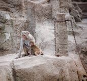 Affe, der sein Kind schützt lizenzfreies stockbild