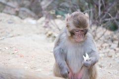 Affe, der sein Lebensmittel betrachtet Stockbild