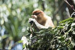 Affe, der seine Mahlzeit hat Lizenzfreies Stockbild