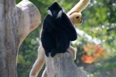 Affe, der seinen Daumen saugt Lizenzfreies Stockfoto