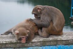 Affe, der sich dient Stockfotografie