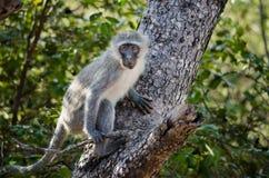 Affe, der sich vorbereitet, von einem Baum zu springen Stockfoto
