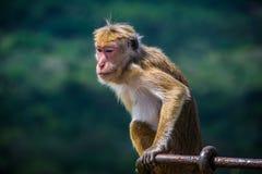 Affe, der in Sigiriya, Sri Lanka sitzt Lizenzfreies Stockfoto
