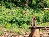 Affe, der an sitzt Stockbilder
