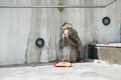 Affe, der Snack auf Zementboden isst Stockfotos