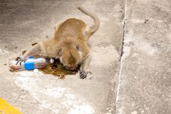 Affe, der sprudelndes Wasser auf der Straße trinkt Lizenzfreie Stockbilder