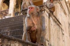 Affe in der Stadt von Jaipur Stockfotos