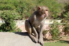 Affe in der Stadt von Jaipur Lizenzfreies Stockfoto