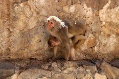 Affe in der Stadt von Jaipur Lizenzfreie Stockbilder