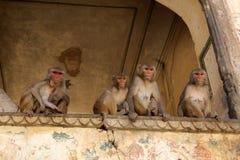 Affe in der Stadt von Jaipur Lizenzfreie Stockfotografie