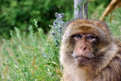 Affe, der traurig schaut lizenzfreie stockbilder