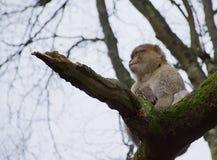 Affe, der unten vom Baumast pinkelt Lizenzfreie Stockfotos