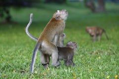 Affe, der 2 verbindet Stockfoto