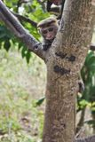 Affe, der vom Baum anstarrt Stockbild