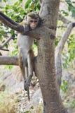 Affe, der vom Baum hängt Lizenzfreies Stockfoto