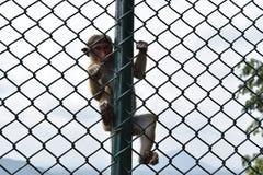 Affe, der vom Zaun hängt Lizenzfreies Stockfoto