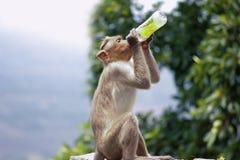 Affe, der von der Flasche trinkt Stockbilder