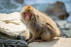 Affe, der von der heißen Quelle trinkt Lizenzfreies Stockbild