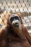 Affe, der vor einem Zaun sich entspannt stockfotografie