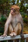 Affe, der vorwärts loking ist Stockbilder