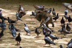Affe, der während Sie durch Tauben isst, umgeben werden Lizenzfreie Stockbilder