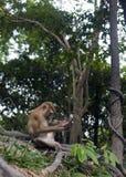 Affe, der in der Waldmakakenreinigung sitzt stockfotografie