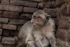 Affe an der Wand Stockbild