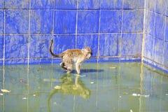 Affe, der in Wasser geht Stockfotos