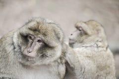 Affe der wild lebenden Tiere Stockbild