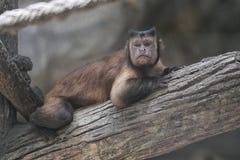 Affe der wild lebenden Tiere auf Niederlassung Stockbilder
