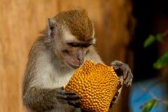 Affe der wild lebenden Tiere, der Steckfassungsfrucht, Brunei isst Lizenzfreie Stockfotografie