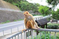 Affe der wild lebenden Tiere in Hong Kong Stockfotografie