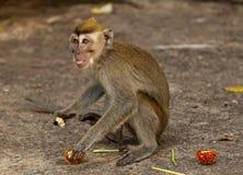 Affe der wild lebenden Tiere isst Früchte Lizenzfreie Stockbilder