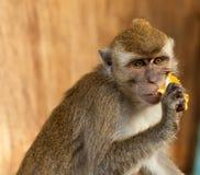 Affe der wild lebenden Tiere isst Jackfruit Stockbild