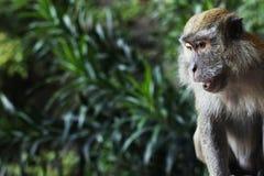 Affe der wild lebenden Tiere, der oben hinunter Abschluss schaut Lizenzfreie Stockbilder