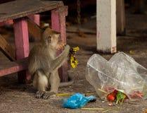 Affe der wild lebenden Tiere steeling Abfall, Brunei Lizenzfreies Stockbild