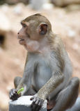 Affe, der yardlong Bohne im Porträt isst Lizenzfreie Stockfotos