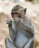 Affe, der yardlong Bohne im Porträt isst Lizenzfreies Stockfoto