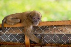 Affe, der am Zaun mit bokeh hängt Stockfoto