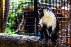Affe in der Zoozelle Stockbild