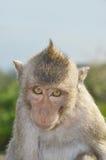 Affe, der zum Kameraobjektiv schaut Stockfoto