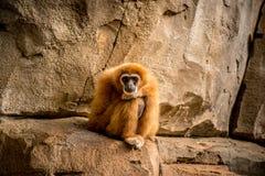 Affe, der zur Kamera sitzt und schaut Lizenzfreies Stockfoto