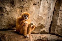 Affe, der zur Kamera sitzt und schaut Stockfotografie
