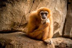 Affe, der zur Kamera sitzt und schaut Lizenzfreie Stockfotos