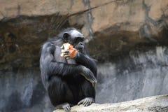 Affe, der Zwiebel isst Stockbild