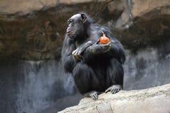 Affe, der Zwiebel isst Lizenzfreie Stockbilder