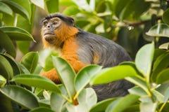 Affe, der zwischen Blättern schaut Stockfotos