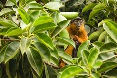 Affe, der zwischen Blättern schaut Stockfoto