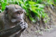 Affe des langen Schwanzes allein isst etwas Lizenzfreies Stockbild
